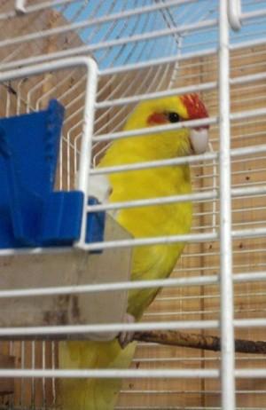 Papagáj Gyuri